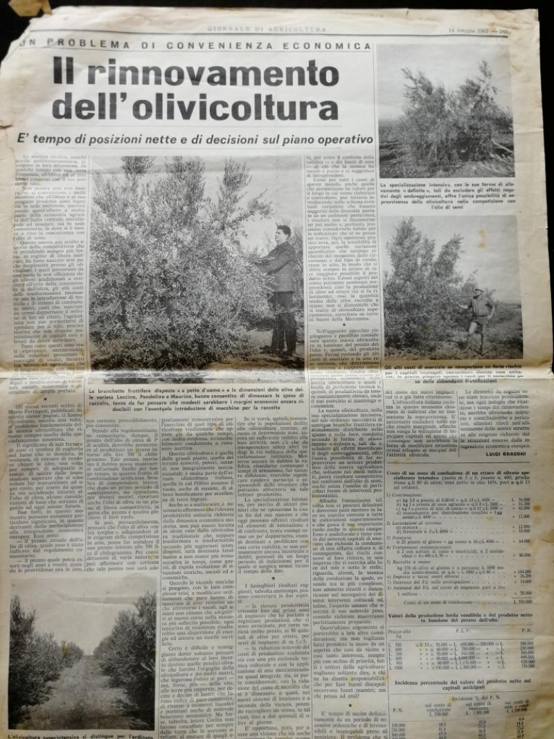 Il superintensivo in olivicoltura nasce nel 1967