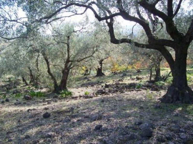 La forza dell'Etna negli olivi della cultivar Brandofino