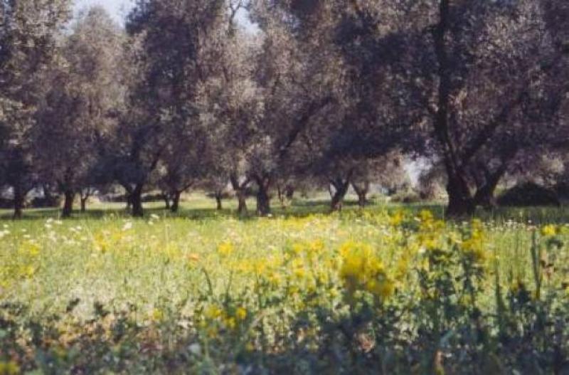 Primavera tra gli olivi - Foto F. Caricato