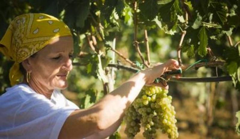 Vendemmiatrice nel Salento, in agro di Brindisi - Foto Tenute Rubino