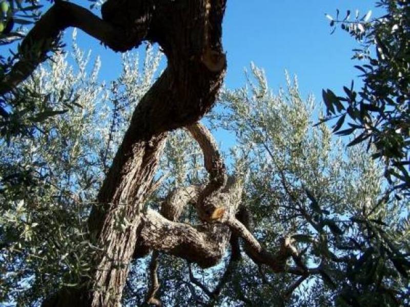 Le fronde d'olivo guardano il cielo - foto Giovanni Aloia