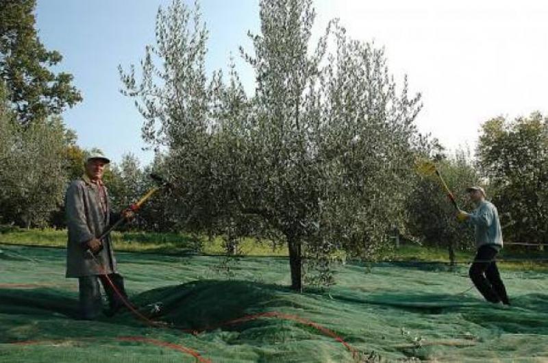 E' tempo di olivagione sulle colline Teramane - foto di De Antoniis